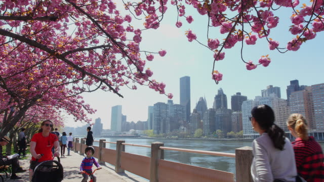 People walk down the promenade which are surrounded by cherry blossoms trees at East River side Roosevelt Island.Manhattan skyscrapers can be see behind.