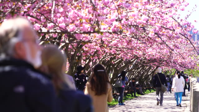People walk down the promenade, which is under the rows of Cherry blossoms trees at Roosevelt Island New York on 2017.