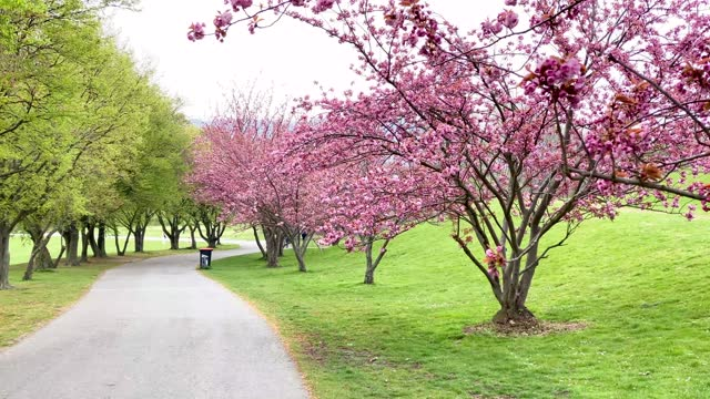 DEU: Cherry Blossom In Bonn