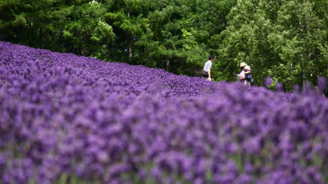 vídeos de stock e filmes b-roll de people walk through field of lavender, japan. - purple