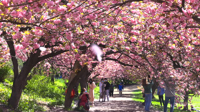 people walk through rows of cherry blossoms trees in central park amidst the pandemic of covid-19 on april 26, 2021 an new york city. myriads of... - tranquil scene stock videos & royalty-free footage