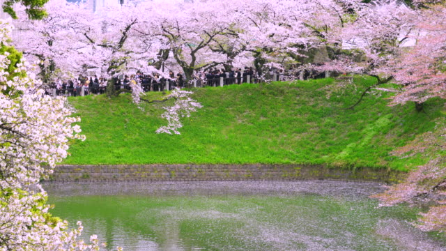 people walk under the rows of cherry blossoms trees at chidorigafuchi moat. - kanto region stock videos and b-roll footage