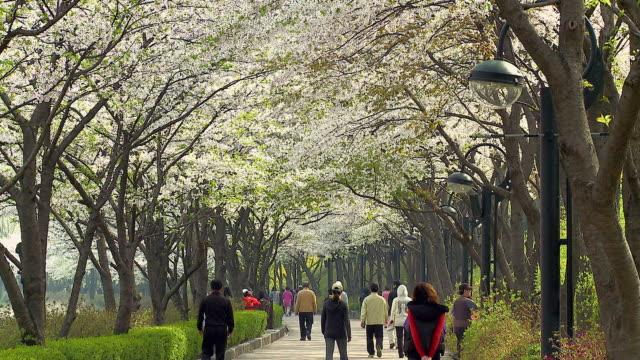 ms people walking from under cherry blossom trees / seoul, south korea - von bäumen gesäumt stock-videos und b-roll-filmmaterial