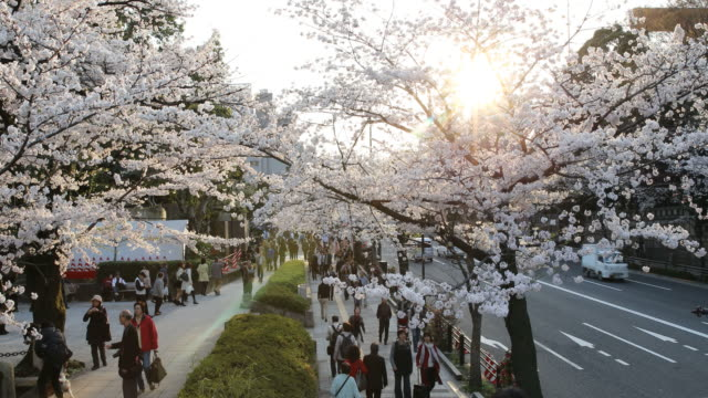 People walking under beautiful blossoming cherry trees in soft evening sunlight, Tokyo, Japan