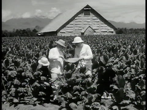 people walking up steep steps on sumatra tobacco farm two men in white suits inspecting tobacco leaves in field teenage indonesia girl cultivating... - imperium bildbanksvideor och videomaterial från bakom kulisserna