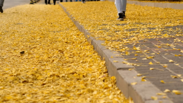 people walks through gingko leafs in famous tsinghua university on nov 08 2017 in beijing china - ginkgobaum stock-videos und b-roll-filmmaterial