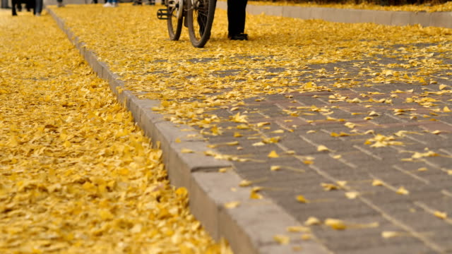 people walks through gingko leafs in famous tsinghua university on nov 08 2017 in beijing china - ginkgo stock videos & royalty-free footage