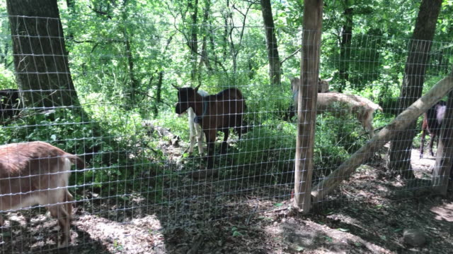 NY: Goats Are Brought Into Manhattan's Riverside Park To Help Maintain Park Grounds