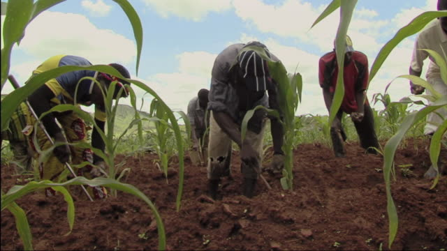 vídeos de stock e filmes b-roll de ws people working in field / mozambique - moçambique