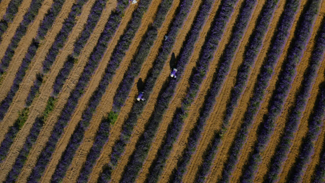 people working in field of lavender, japan. - directly above stock videos & royalty-free footage