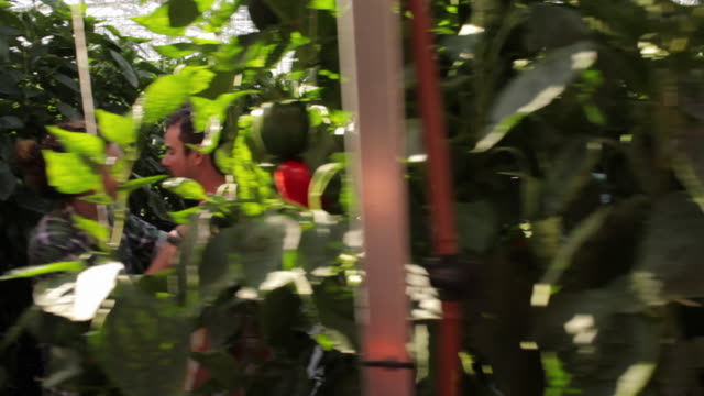 ws pan people working in greenhouse, young couple kissing in alley / perth, australia - gewächshäuser stock-videos und b-roll-filmmaterial