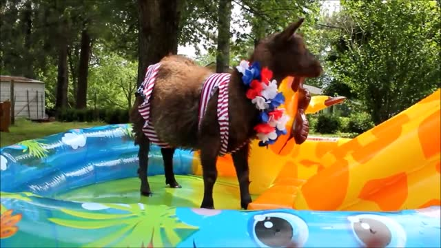 peppa lass is no ordinary goat. she lives a life of style and doesn't mind getting dressed up or even getting wet. for memorial day weekend, she hit... - wet wet wet stock videos & royalty-free footage
