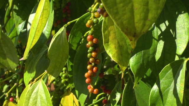 pepper plantation at vietnam close-up. peppercorn grains - newly industrialized country stock videos and b-roll footage