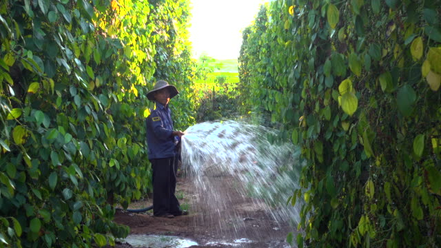 pepper plantation at vietnam. man irrigating the plantation using a hose - irrigation equipment stock videos & royalty-free footage