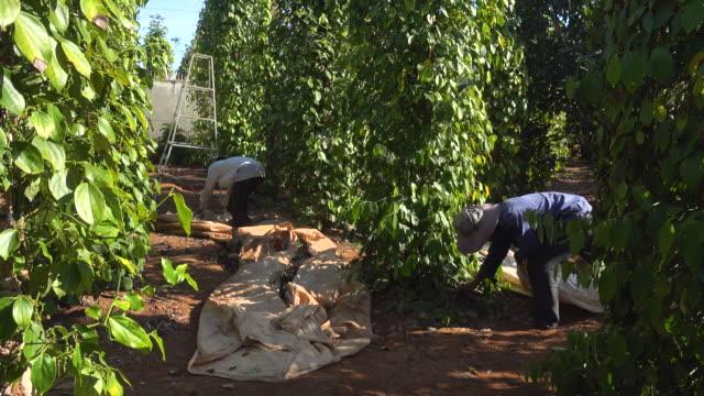 vidéos et rushes de pepper plantation at vietnam. men working on harvesting - piment