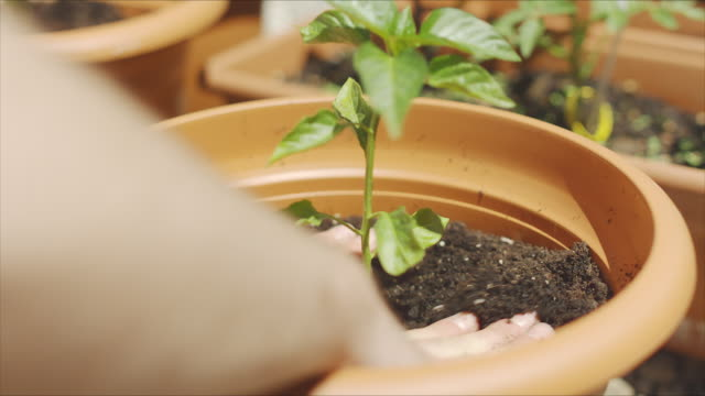 pepper seedling being planted and irrigated by the hands of a man in a yard urban farm. - flower pot stock videos and b-roll footage