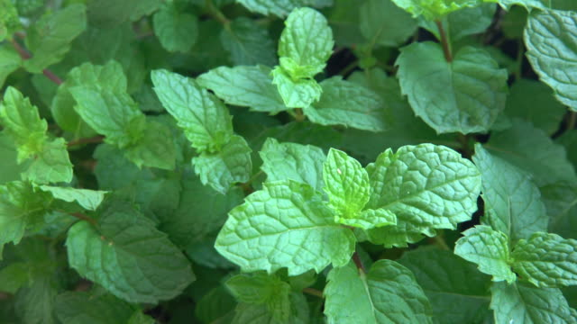 peppermint plant - cultivated stock videos & royalty-free footage