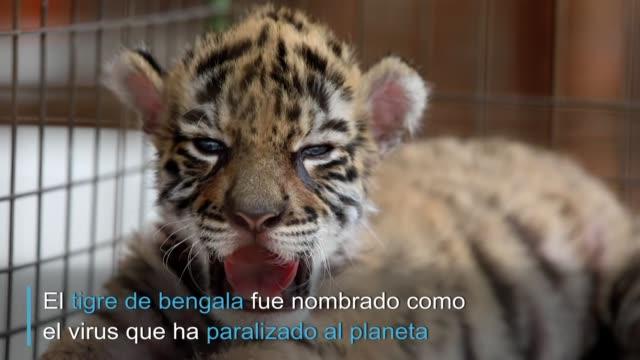 pequeno y fiero como el virus que le da nombre, covid, un tigre de menos de un mes de nacido en un zoologico del este de méxico regala a sus duenos... - planeta stock videos & royalty-free footage