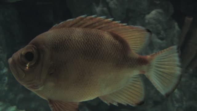 perch 1 - hd 30f - perch fish stock videos and b-roll footage