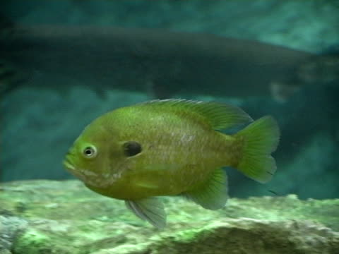 perch - perch fish stock videos and b-roll footage