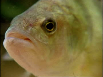 perch (perca sp.) waving fins stationary in water, zoom out, freshwater pond, uk - perching stock videos & royalty-free footage