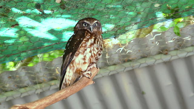 Perched Brown spotted owl looks down at camera.