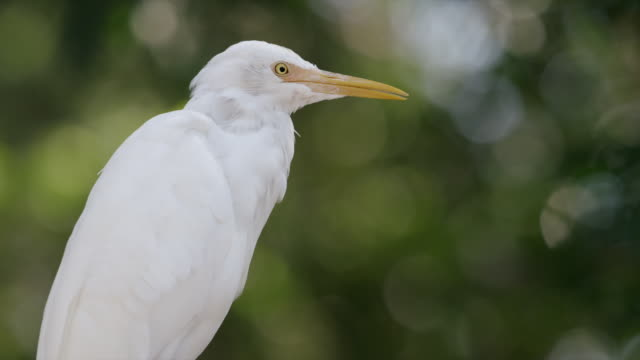Perched egret scratches its neck
