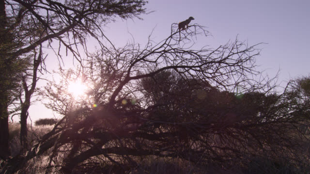 perching meerkat (suricata suricatta) sentry descends tree, south africa - defending stock videos & royalty-free footage