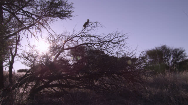 perching meerkat (suricata suricatta) sentry in tree, south africa - defending stock videos & royalty-free footage