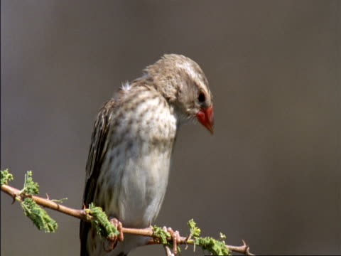 perching red-billed quelea (quelea quelea) on twig, botswana - perching stock videos & royalty-free footage