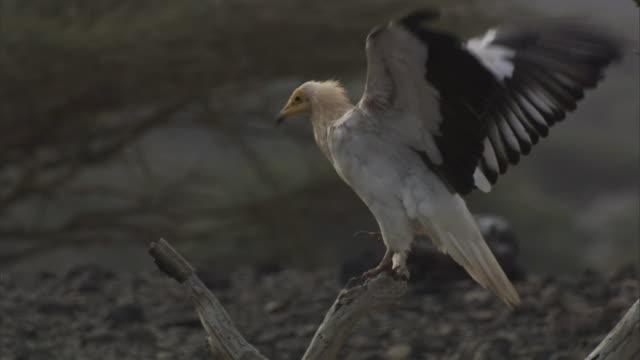 a perching vulture flaps its wings in djibouti. - gliedmaßen körperteile stock-videos und b-roll-filmmaterial