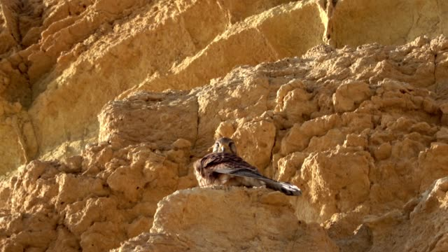 peregrine falcon, falco peregrinus, sitting in cliff, algarve, atlantic coast, portugal - 岩肌点の映像素材/bロール