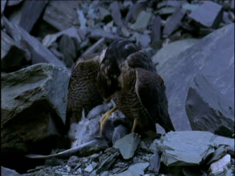 peregrine falcon feeds from its pigeon prey in quarry - wanderfalke stock-videos und b-roll-filmmaterial