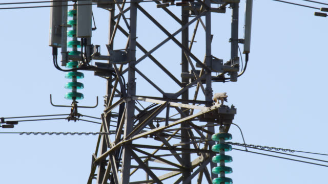 peregrine falcon (falco peregrinus) feeds on pigeon prey on pylon, nottinghamshire, england - electricity pylon stock videos and b-roll footage