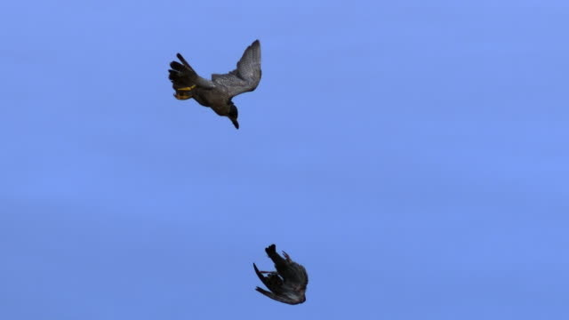 a peregrine falcon flies after a dead pigeon. available in hd. - wanderfalke stock-videos und b-roll-filmmaterial