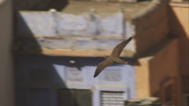 peregrine falcon flying and gliding over houses in jodhpur looking around - wanderfalke stock-videos und b-roll-filmmaterial