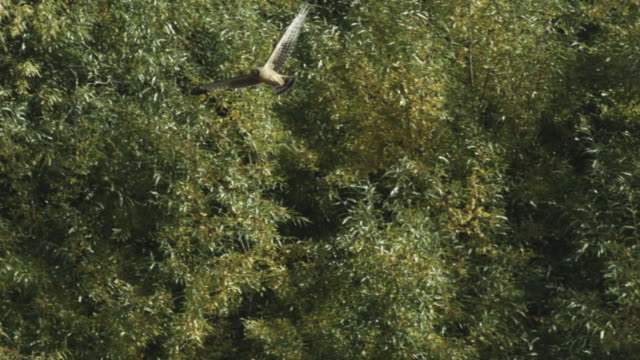 peregrine falcon flying over forest canopy, kamchatka, 2009 - wanderfalke stock-videos und b-roll-filmmaterial