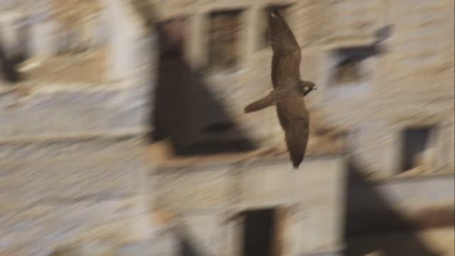 ms peregrine falcon gliding in a circle over houses in jodhpur - wanderfalke stock-videos und b-roll-filmmaterial