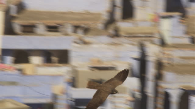 ms peregrine falcon gliding in a circle over jodhpur - wanderfalke stock-videos und b-roll-filmmaterial