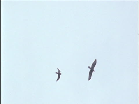 peregrine falcon grapples with buzzard - wanderfalke stock-videos und b-roll-filmmaterial