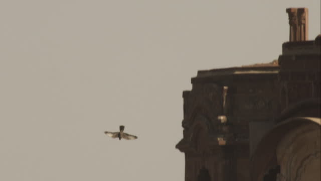 ws peregrine falcon rolls into vertical dive by fort walls and over open ground in jodhpur - wanderfalke stock-videos und b-roll-filmmaterial