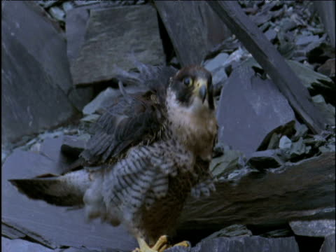 peregrine falcon ruffles its feathers in quarry - slate rock stock videos and b-roll footage
