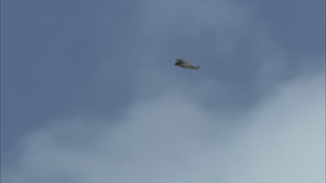 a peregrine falcon soars across a cloudy blue sky. - falcon bird stock videos & royalty-free footage