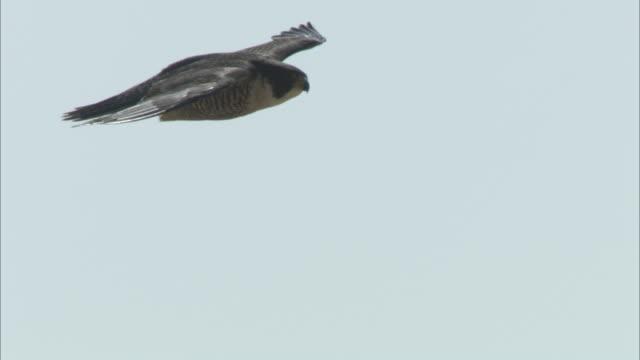 a peregrine falcon soars across the sky. - falcon bird stock videos & royalty-free footage