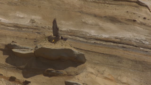 a peregrine falcon swoops past a rugged cliff. - wanderfalke stock-videos und b-roll-filmmaterial