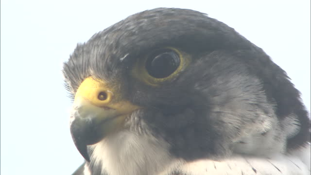 a peregrine falcon turns its head and stares. - wanderfalke stock-videos und b-roll-filmmaterial