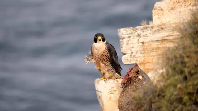 peregrine falcon - falcon bird stock videos & royalty-free footage