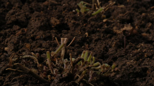 perennial plants sprout from the ground. available in hd. - perennial stock videos & royalty-free footage
