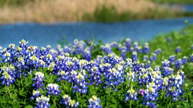 perfekte bluebonnet patch natur zeit frühlingsfarben - wildblume stock-videos und b-roll-filmmaterial
