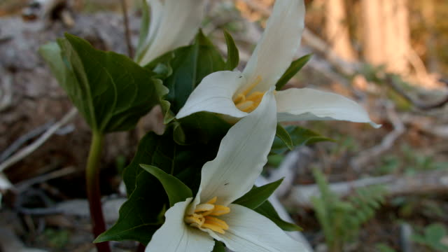 vídeos y material grabado en eventos de stock de perfect macro trillium white forest meadow wildflower mt. hood oregon cascades 21 - trillium